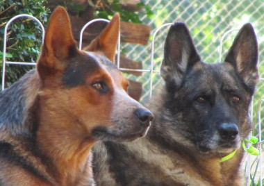 Dusty, our Australian Cattle Dog, with Sable, our German Shepherd (Sable died last year)
