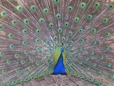 The Splendid Peacock