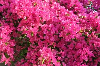 Rhapsody in Pink