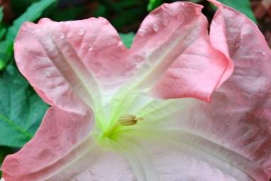 Pink Angel's Trumpet